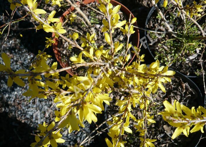 Zlatice prostřední 'Maluch' - Forsythia intermedia 'Maluch'