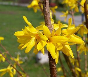 Zlatice prostřední 'Golden Bells' - Forsythia intermedia 'Golden Bells'