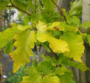 Buk lesní 'Rohan Gold' - Fagus sylvatica 'Rohan Gold'