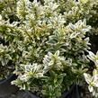 Brslen 'Argentea' - Euonymus pulchellus 'Argentea'