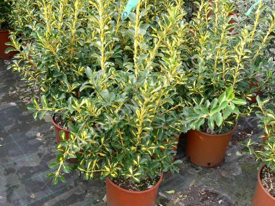 Brslen - Euonymus livornese
