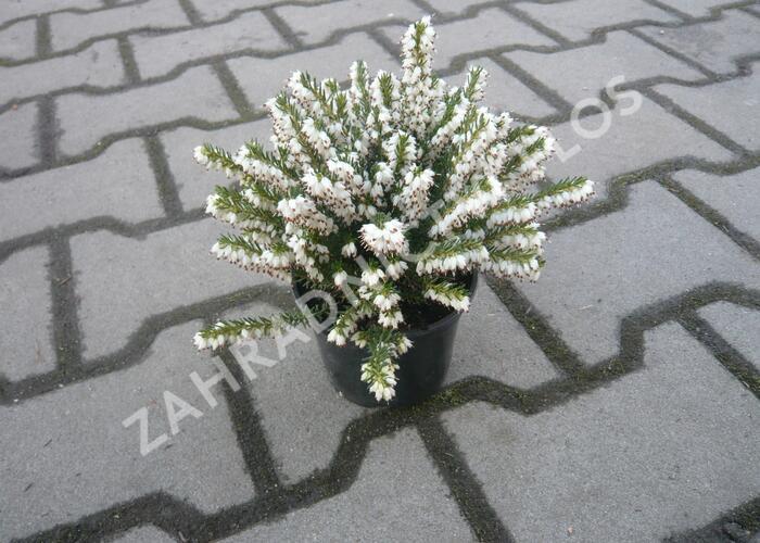 Vřesovec pleťový 'Alba' - Erica carnea 'Alba'