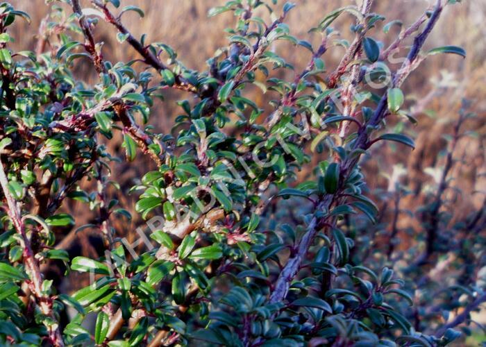 Skalník drobnolistý - Cotoneaster microphyllus var. thymifolius