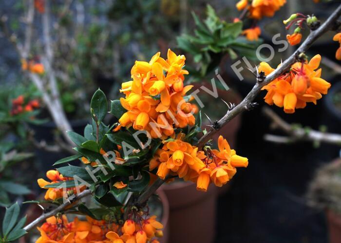 Dřišťál lologský 'Apricot Queen' - Berberis lologensis 'Apricot Queen'