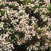 Kyhanka bažinná 'Nikko' - Andromeda polifolia 'Nikko'