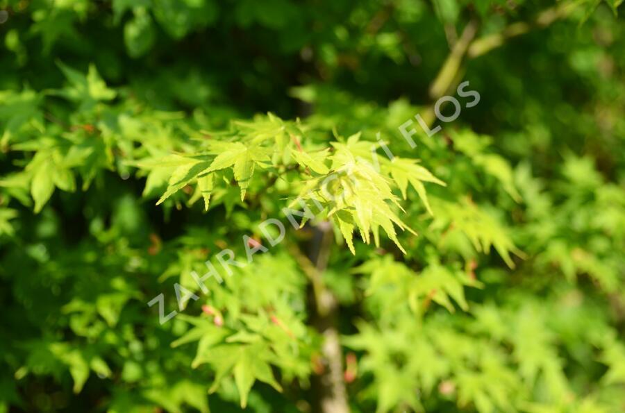 Javor dlanitolistý 'Tricolor' - Acer palmatum 'Tricolor'