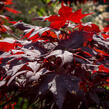 Javor dlanitolistý 'Okagami' - Acer palmatum 'Okagami'