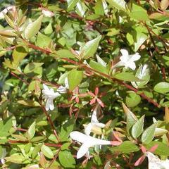 Abélie velkokvětá 'Prostrata' - Abelia grandiflora 'Prostrata'