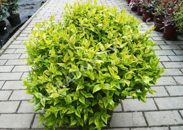 Abélie velkokvětá 'Aurea' - Abelia grandiflora 'Aurea'