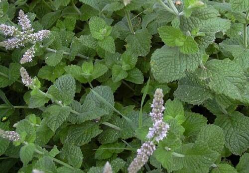Máta huňatá 'Apfelmintze' - Mentha rotundifolia 'Apfelmintze'