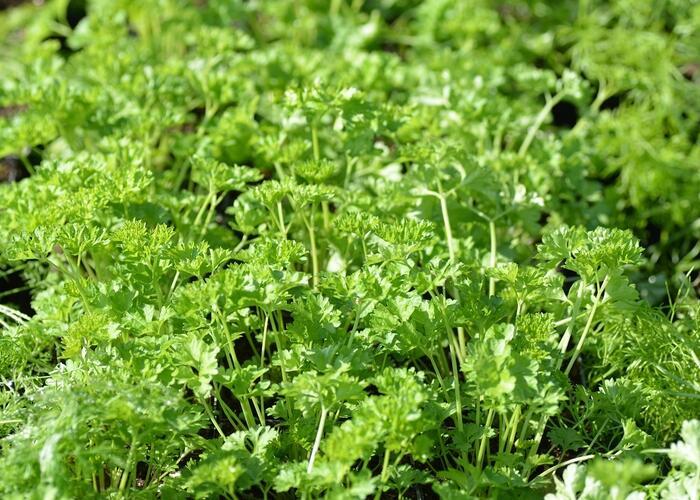 Petržel zahradní - Petroselinum crispum