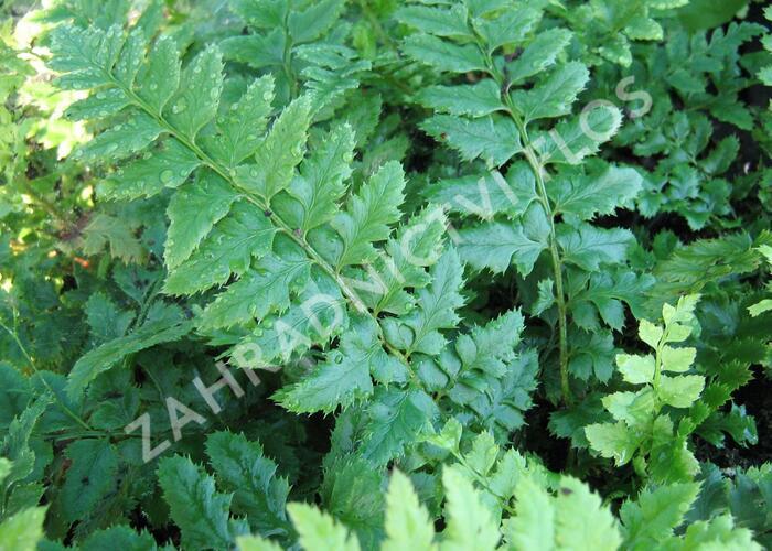 Kapradina laločnatá - Polystichum aculeatum
