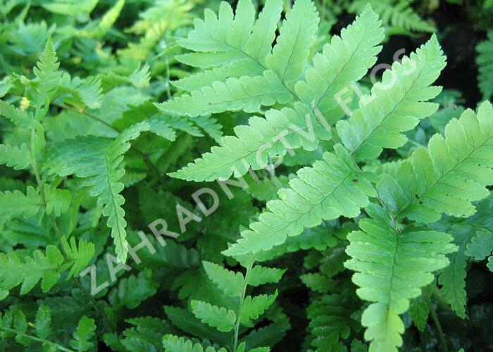 Kapraď Goldieho - Dryopteris goldiana