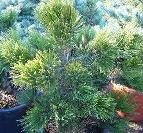 Borovice bělokorá 'Green Giant' - Pinus heldreichii 'Green Giant'