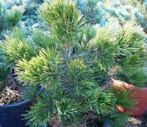 Borovice bělokorá 'Green Giant' - Pinus heldreichii 'Green Giant'