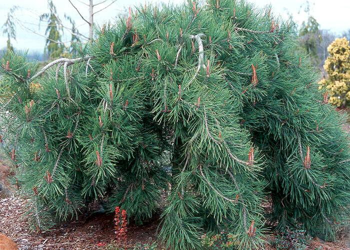 Borovice hustokvětá 'Pendula' - Pinus densiflora 'Pendula'