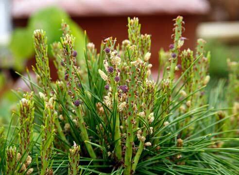 Borovice hustokvětá 'Henry Bud' - Pinus densiflora 'Henry Bud'
