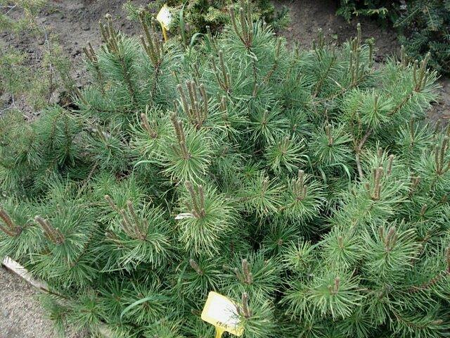 Borovice limba 'Compacta Glauca' - Pinus cembra 'Compacta Glauca'