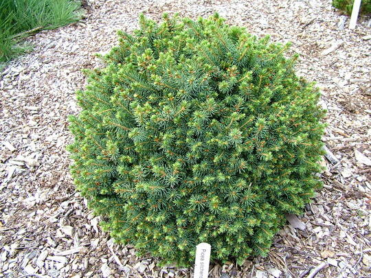 Smrk sitka 'Nana' - Picea sitchensis 'Nana'