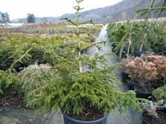 Smrk východní 'Aurea Compacta' - Picea orientalis 'Aurea Compacta'