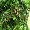Smrk východní 'Atrovirens' - Picea orientalis 'Atrovirens'