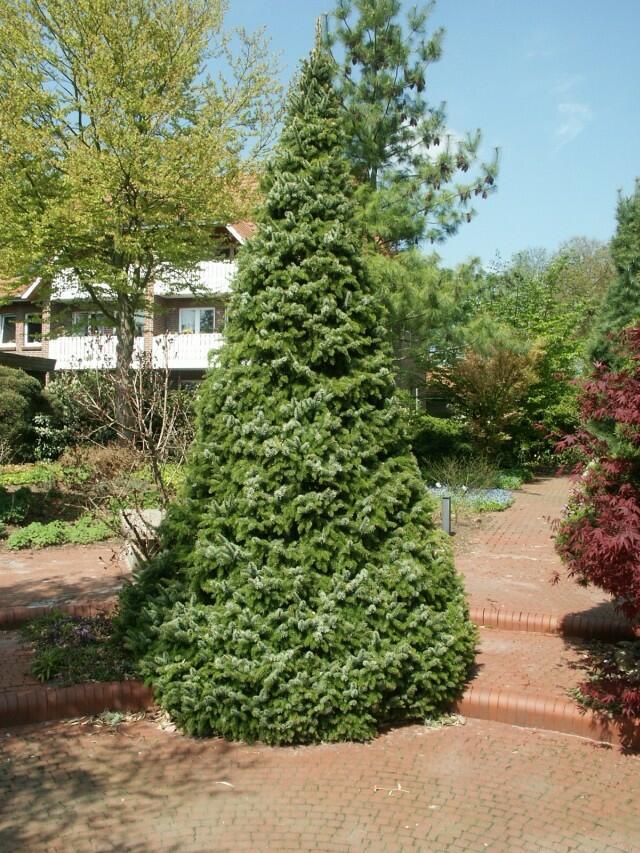 Smrk omorika 'Zuckerhut' - Picea omorika 'Zuckerhut'