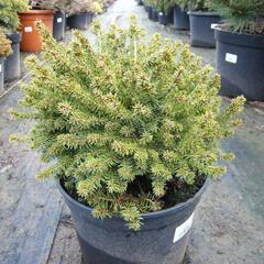 Smrk černý 'Nana' - Picea mariana 'Nana'