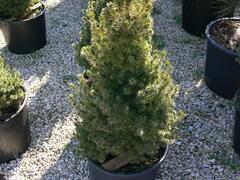 Smrk sivý 'Sander's Blue' - Picea glauca 'Sander's Blue'