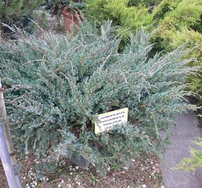 Jalovec šupinatý 'Holger' - Juniperus squamata 'Holger'