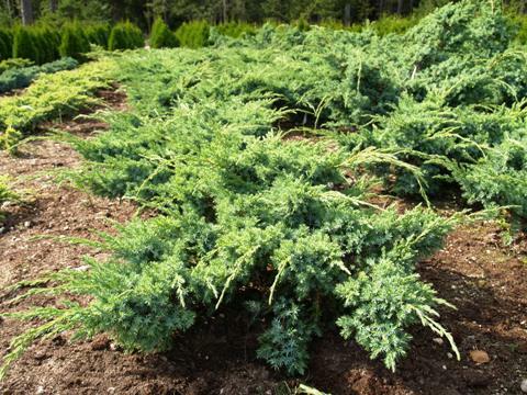Jalovec šupinatý 'Blue Swede' - Juniperus squamata 'Blue Swede'