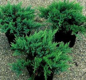 Jalovec chvojka 'Tam No Blight' - Juniperus sabina 'Tam No Blight'