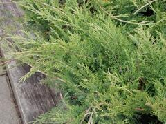 Jalovec chvojka 'Buffalo' - Juniperus sabina 'Buffalo'