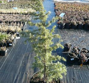 Jalovec obecný 'Golden Showers' - Juniperus communis 'Golden Showers'