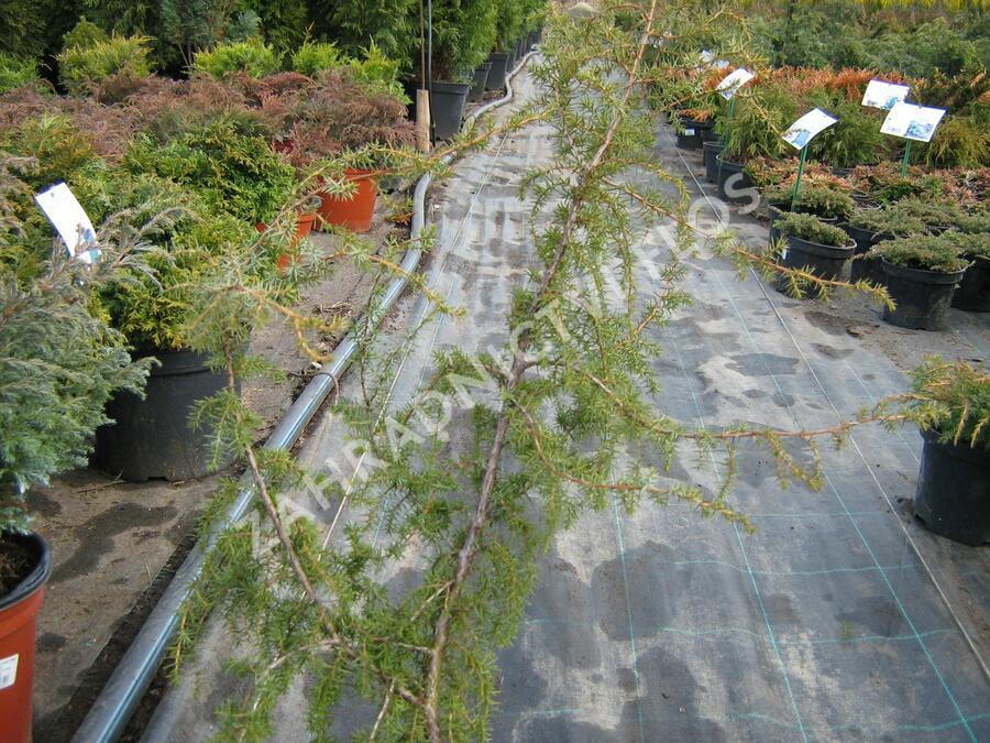 Jalovec obecný 'Fontaen' - Juniperus communis 'Fontaen'