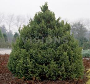 Cypřišek hrachonosný 'Plumosa Aurea' - Chamaecyparis pisifera 'Plumosa Aurea'