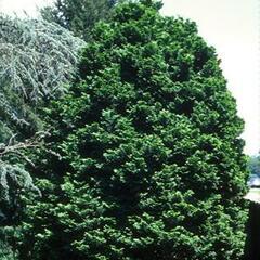 Cypřišek tupolistý - Chamaecyparis obtusa
