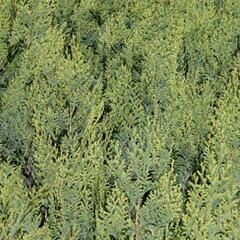 Cypřišek Lawsonův 'White Spot' - Chamaecyparis lawsoniana 'White Spot'