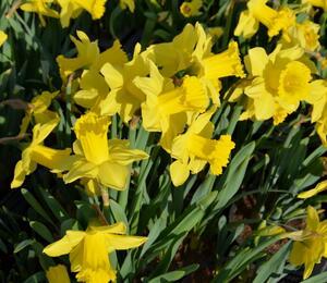 Narcis mix - Narcissus mix