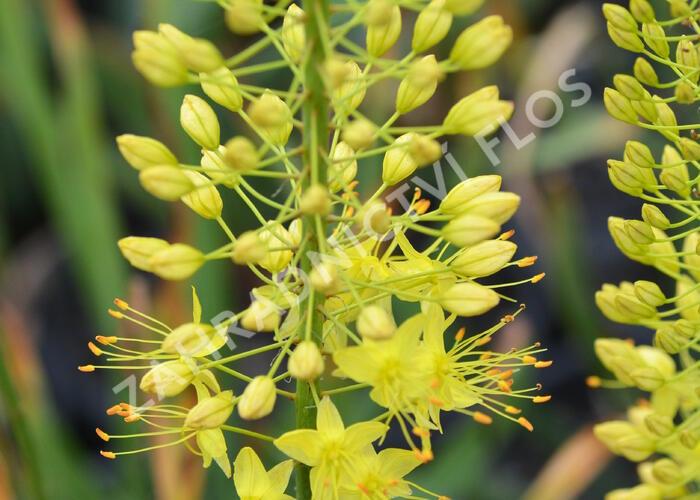 Liliochvostec - Eremurus stenophyllus var. bungei