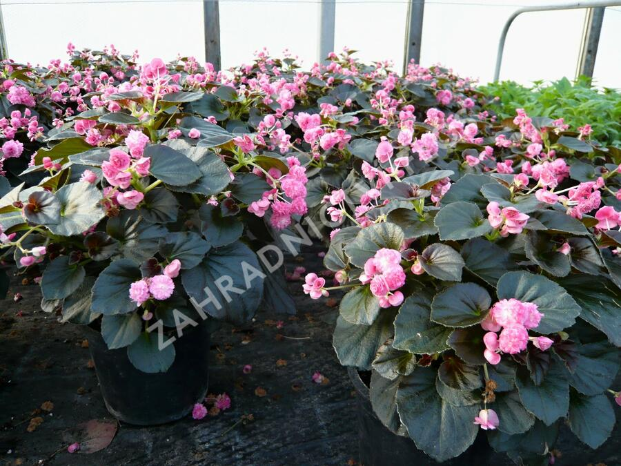 Begónie stálokvětá, ledovka, voskovka 'Doublet Pink' - Begonia semperflorens 'Doublet Pink'
