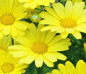 Kopretina pařížská 'Butterfly' - Argyranthemum frutescens 'Butterfly'