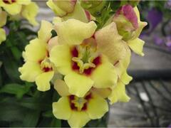 Hledík 'Antirinca Yellow' - Antirrhinum 'Antirinca Yellow'