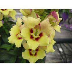 Hledík 'Antirinca Yellow' - Antirrhinum 'Antirinca Yellow'