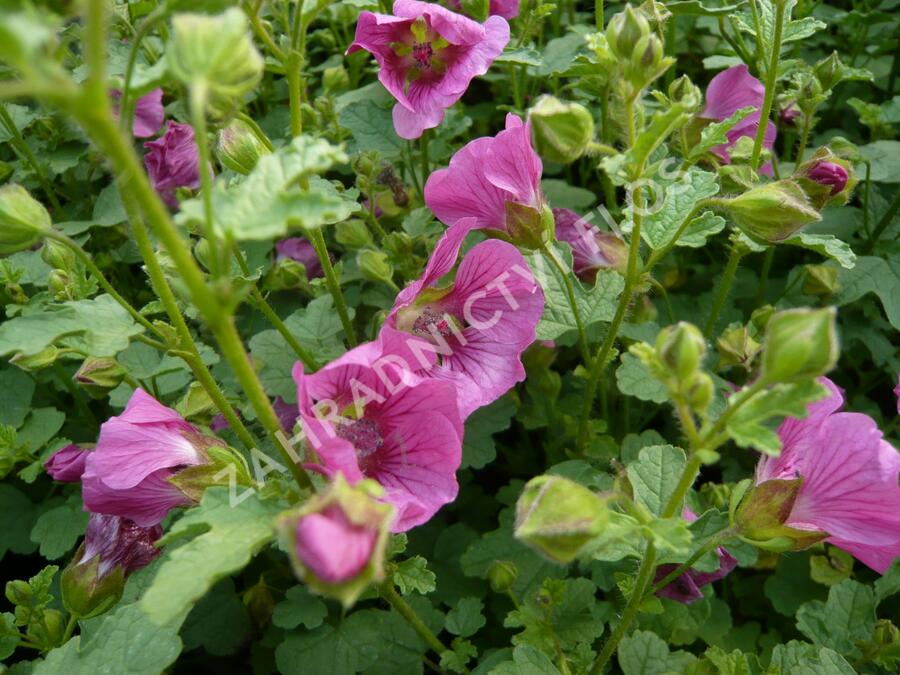 Anisodontea 'Dontella Pink' - Anisodontea capensis 'Dontella Pink'