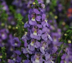 Angelonie 'Blue' - Angelonia gardneri 'Blue'