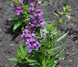 Angelonie 'Adessa Mini Purple' - Angelonia gardneri 'Adessa Mini Purple'