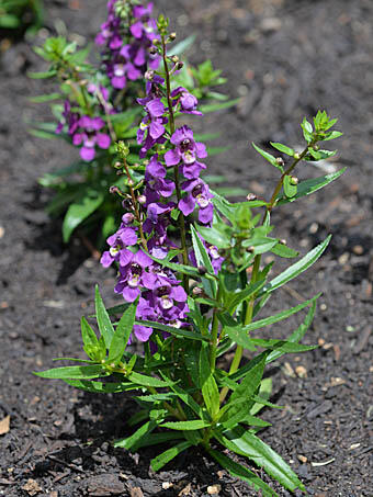 Angelonie 'Adessa Mini Purple' - Angelonia gardneri 'Adessa Mini Purple'