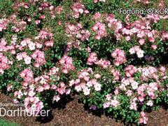 Růže mnohokvětá Kordes 'Fortuna' - Rosa MK 'Fortuna'