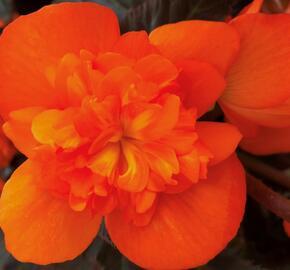 Begónie 'I'conia Portofino Orange' - Begonia 'I'conia Portofino Orange'