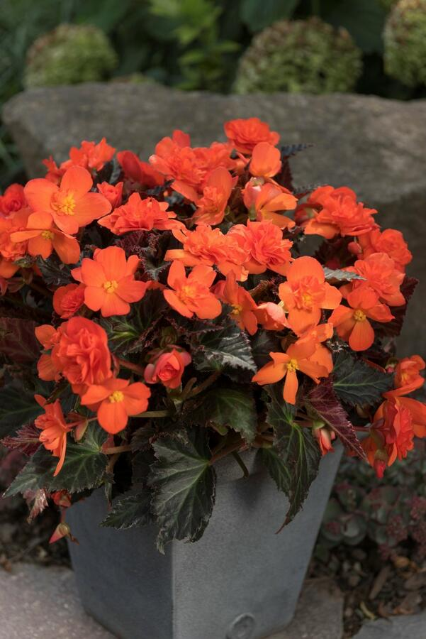 Begónie 'I'conia Portofino Orange' - Begonia 'I'conia Portofino Orange'